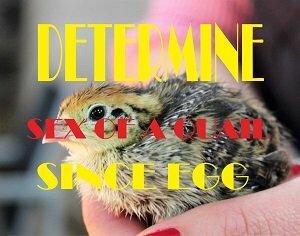 determie sex of a quail since egg