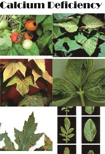 how to feed calcium for plants