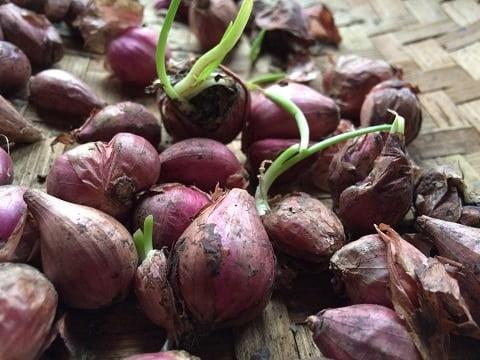 cara menanam bawang merah di polybag
