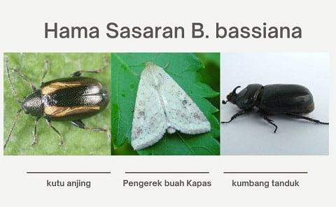 hama sasaran beauveria bassiana